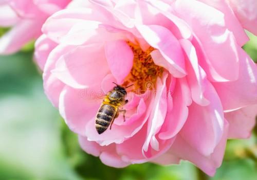 Ароматные цветы Розы и ее достоинства в косметике