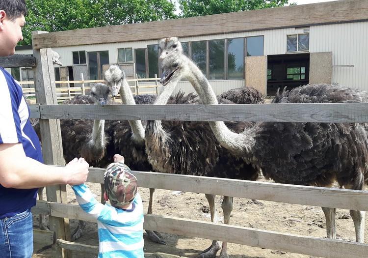 """Летний гид: страусиная ферма """"Mazzarini"""" и её веселые обитатели"""