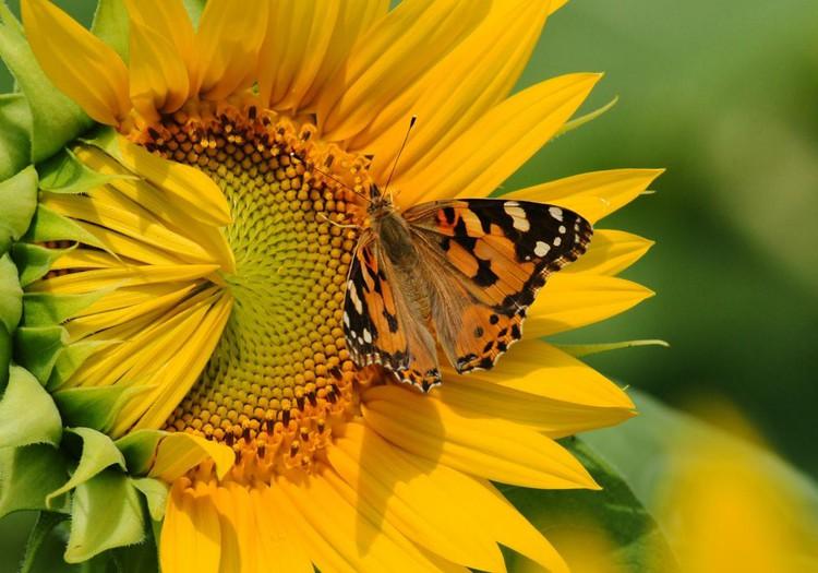 Я солнечный цветок!