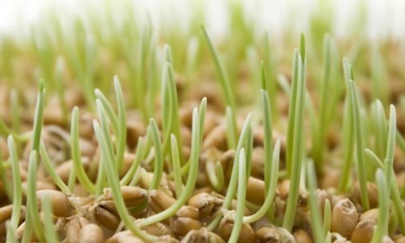Как правильно проращивать семена?