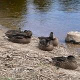 Остальные мои дети тоже не скучали. Мы продолжали ходить на реку и подружились с местными жителями – лебедями и утками. Собирали малину, и впервые за многие годы, насобирали её так много, что наварили несколько литров варенья!!!
