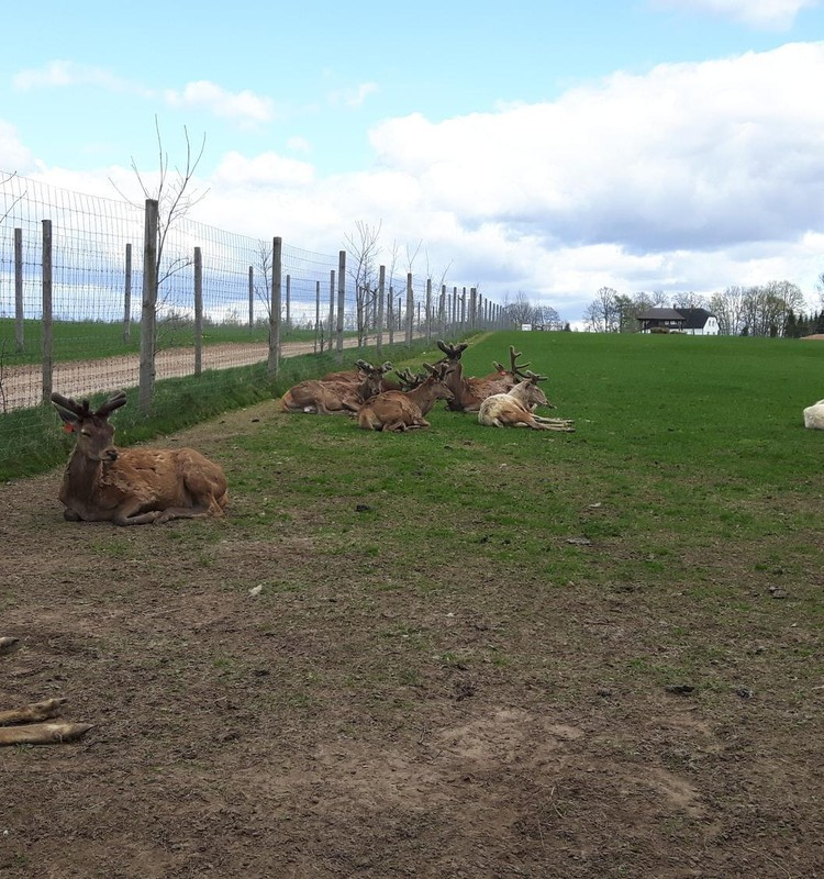 Сафари-парк «More», олени