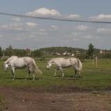 Поскольку мой папа живёт недалеко от Петергофа, то первый день мы решили посвятить осмотру именного этого пригорода  и окрестностей.  Дочка очень хотела покататься на лошадке (желание именинницы) вот мы и поехали на поиски конюшни. Хорошо, что сестра подсказала одно замечательное место на берегу реки Шингарки. Получилась целая экскурсия на ферму домашних животных. Поросята, козы, овцы, лошади и пони, петухи, куры. Дети испугались сначала, а потом начали ловить кайф от общения с животными.