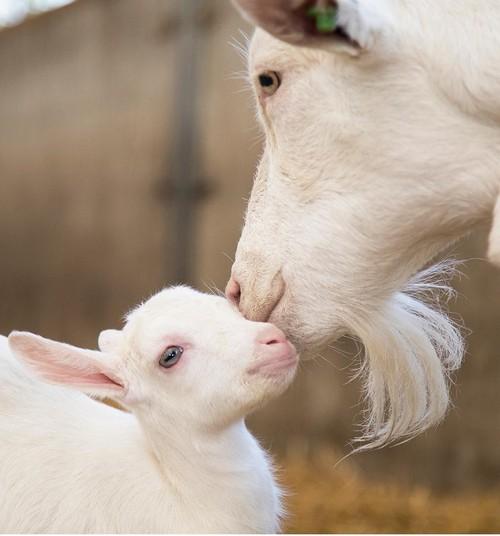 6 фактов о козьем молоке