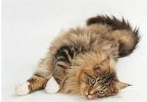 Royal Canin Feline Breed Nutrition – создан для породистых котов