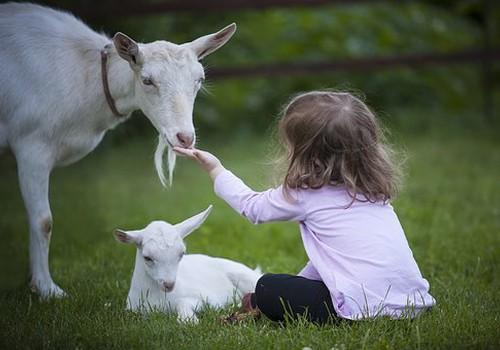 Секреты козьего молока, или - что вы не знали о питании малыша после года