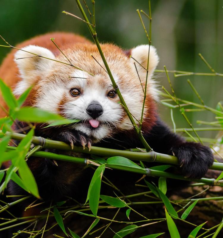 Дом для красной панды: вместе мы сможем помочь!