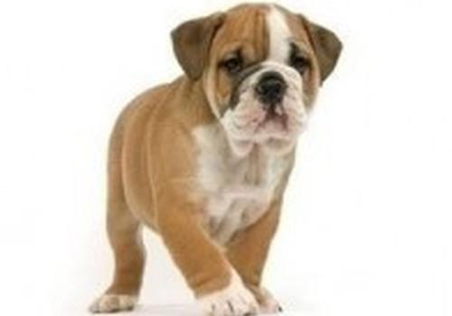 Breed Health Nutrition – специальный корм для породистых собак