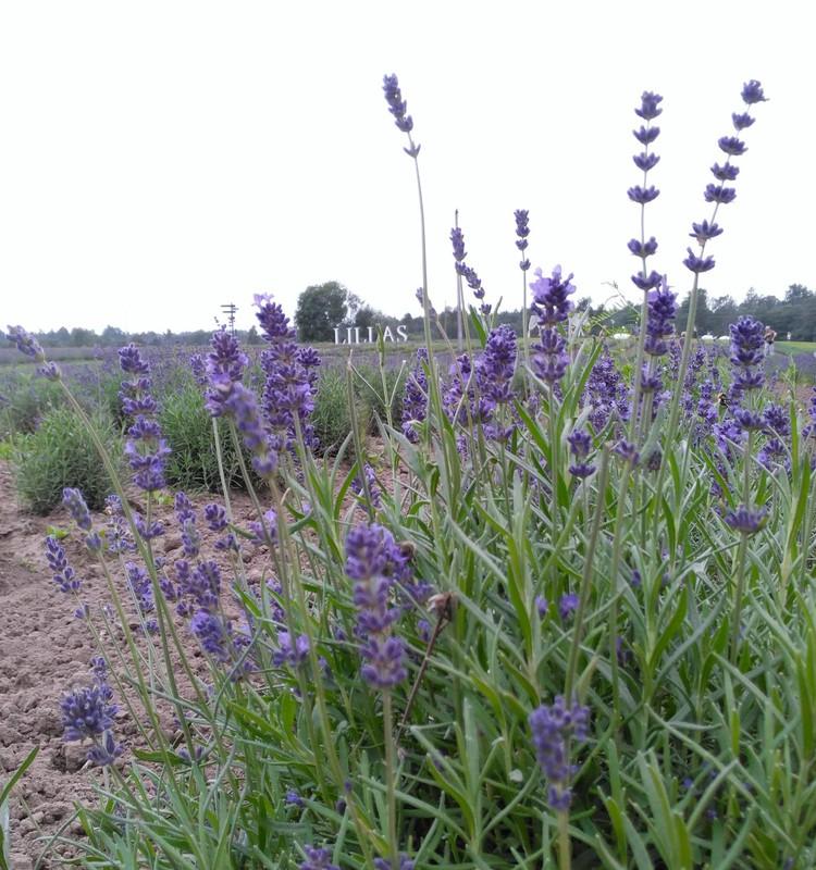 Маршрут: Лавандовое поле - Туя