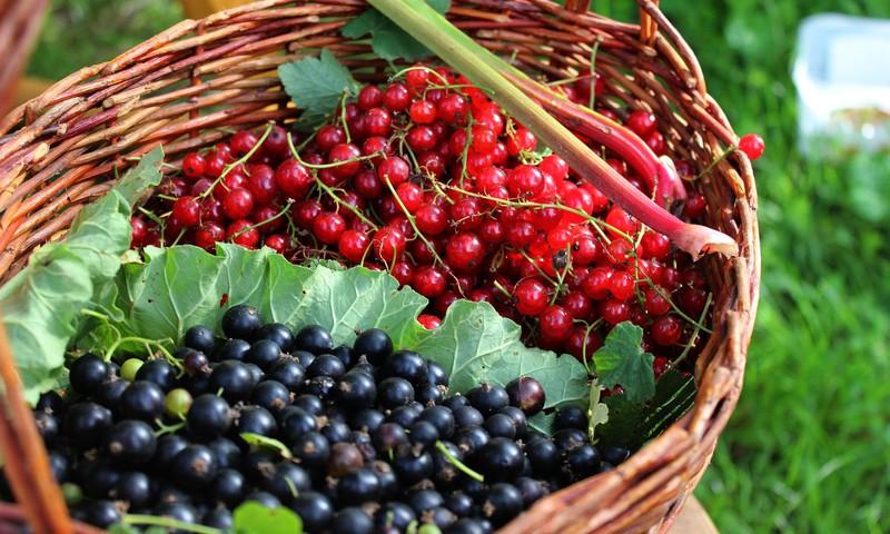 Почему летом обязательно нужно есть красную и чёрную смородину?