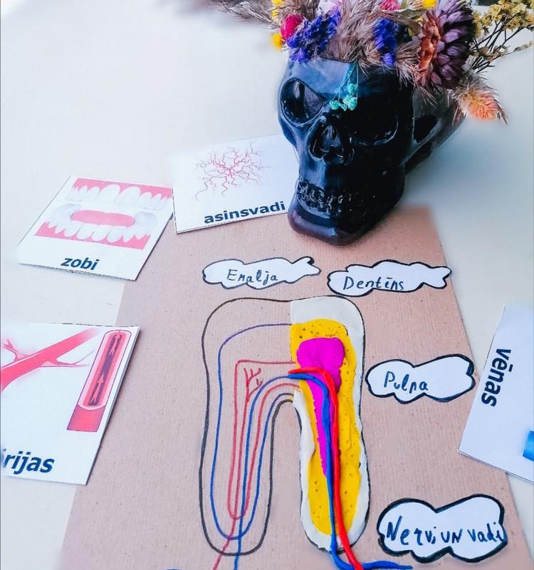 Изучаем строение зуба с помощью пластилина