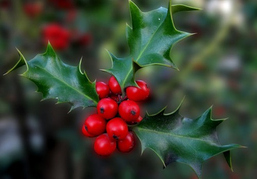 Рождественская ягода - что о ней известно?
